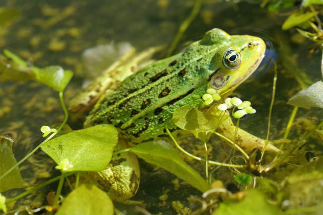 Обои животные, лягушки, лето, зелёный, цвет, пруд, природа, отдых ...
