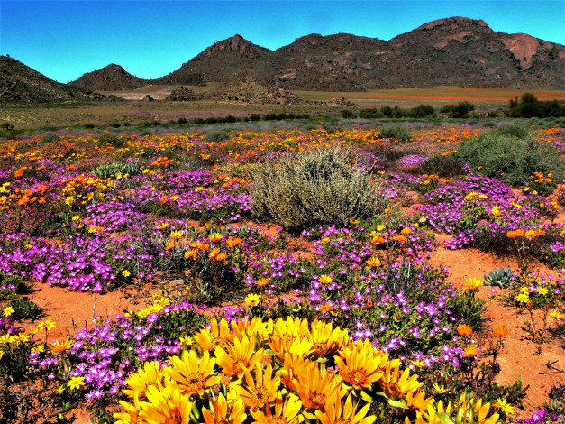 Обои картинки фото namaqua national park, south africa, природа, луга, namaqua, national, park, south, africa