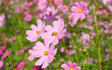 обоя цветы, космея, cosmos, colorful, луг, розовые, meadow, field, summer, поле, pink, лето, flowers